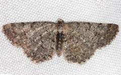 6570 Four-barred Gray Moth Aethalura intertexta Thunder Lake UP Mich 6-21-13