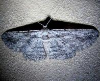 6577 Oblique Looper Moth Ventana Canyon Resort Tucson Az 9-9-12