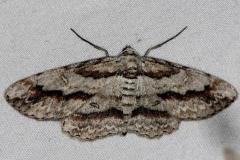 6580 Cypress Looper Moth Little Manetee River St Pk Fl 3-8-15