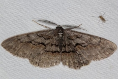 6582 Large Purplish Gray Moth Thunder Lake UP Mich 6-26-15