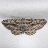 6586 Brown-shaded Gray Moth Alexander Springs Ocala Natl Forest 3-18-13