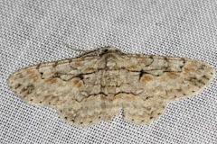 6586 Brown-shaded Gray Moth yard 8-11-12_opt