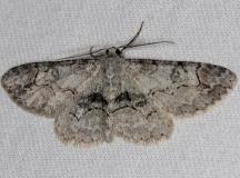 6588 Bent-line Gray Moth Thunder Lake Micha 6-21-13 (97)
