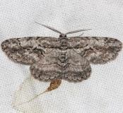 6590 Common Gray Moth yarda 5-14-13