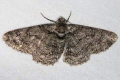 6594 Double-lined Gray Moth Yard 5-5-15 (1)_opt