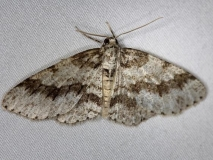 6597 Small Engrailed Moth Thunder Lake UP Mich 6-21-14_opt