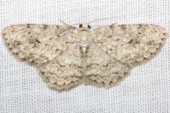 6597 Small Engrailed Moth yard 6-15-12 (30a)