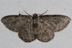 6597 Small Engrailed Moth yard 6-4-15