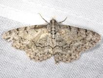 6598 Porcelain Gray Moth Battelle Darby Pk Ancient Traila 7-25-13 (25)