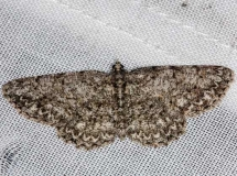 6598 Porcelian Gray Moth Protoboarmia porcelaria Rodman Campground Fl 3-20-14