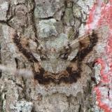 6599 Tulip Tree Beauty Moth Grasshopper Lake Ocala Natl 3-15-12
