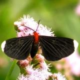 6616 White-tipped Black Moth Estero Llano Grande Weslaco, Texas 11-4-13