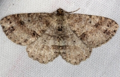 6620 Canadian Melanolophia Moth Carter Cave St Pk Kentucky 4-23-13 (129a)