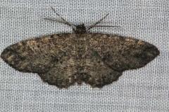 6620 Canadian Melanolophia Moth yard 8-2-16 (4)_opt