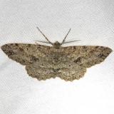6621 Signate Melanolophia Moth Carter Cave St Pk Ky 4-23-13