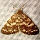 6639 Sharp-lined Powder Moth Jenny Wiley Ky 4-26-12