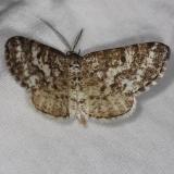 6639 Sharp-lined Powder Moth Thunder Lake UP Mich 6-21-14