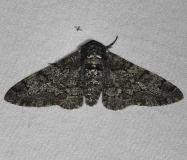 6640 Pepper-and -Salt Geometer Moth Thunder Lake UP Mich 6-20-14