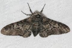 6640 Pepper and Salt Moth yard 8-4-16 (8)_opt