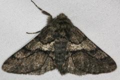 6652 Wooly Gray Moth yard 4-17-15 (11)_opt