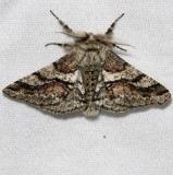 6652 Wooly Gray MothGrasshopper Lake Ocala Natl Forest 3-21-13