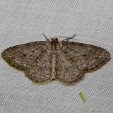 6656 Pine Measuringworm Moth yard 6-7-11_opt