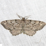 6656 Pine Measuringworm Moth Thunder Lake 6-23-12