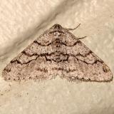 6658 Half-wing Moth Gold Head Branch St Pk FL 2-16-12