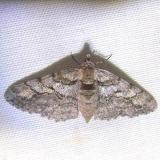 6658 Half-wing Moth Juniper Springs Ocala Natl 3-14-12