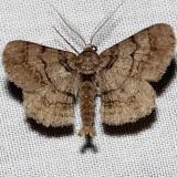 6660 Small Phigalia Moth Grasshopper Lake Ocala Natl Forest 3-21-13