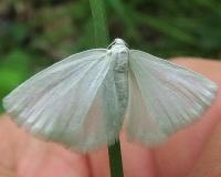 6667 White Spring Moth Lobdell Preserve Licking Co Oh 5-6-13