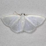 6667 White Spring Moth yard 5-9-15
