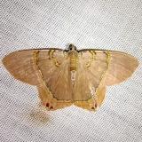 6671 Jeweled Satyr Moth CREW Fl 3-5-12