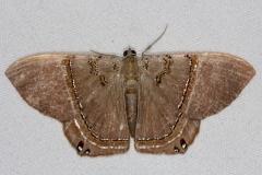 6671 Jeweled Satyr Moth Collier-Seminole St Pk 3-3-15