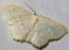6677 Yellow-dusted Cream Moth Thunder Lake UP Mich 6-22-12