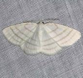 6680 Cabera quadrifasciaria Four-lined Cabera Moth Cumberland falls St Pk Ky 4-24-14