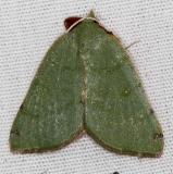6700 Bicolored Chloraspilates Moth Campsite 119Falcon St Pk Texas 10-23-16 (1)_opt
