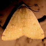 6700 Bicored Chloraspilates Moth Windemire Hotel Sierra Vista Az 9-8-12