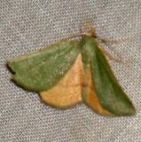 6700W Chloraspilates bicoloraria Benson State Park Texas 10-16-08