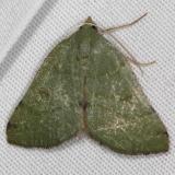 6701 Chloraspilates minima Campsite 119 Falcon St Pk Texas 10-26-16_opt