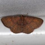 6711 Black-dotted Ruddy Moth Village Creek St Pk Texas 11-9-13