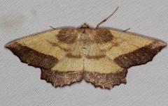 6724 Saw-wing Moth Yard 7-2-16 (1a)_opt