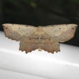 6725 Muzaria Euchlaena Moth yard 5-29-13