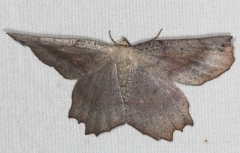 6726 Obtuse Euchlaena Moth Little Manetee River St Pk 3-9-15
