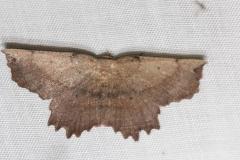 6728 Effectie Euchkaena Moth Thunder Lake 6-23-12