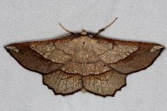 6731 Scrub Euchlaena Moth Favre-Dykes St Pk Fl 2-21-15
