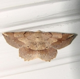6734 Ochre Euchlaena Moth Gold Head Branch St Pk 2-16-12