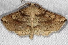 6734 Ochre Euchlaena Moth Thunder Lake UP Mich 6-23-14