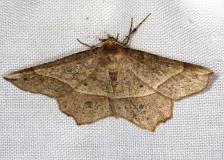 6737 Mottled Euchlaena Moth Euchlaena tigrinaria Thunder Lake Mich UP 6-24-13