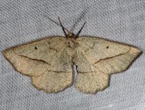 6739 Least-marked Euchlaena Moth Shawnee St Pk Oh 6-14-13